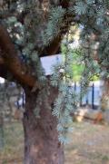 Abete argentato dedicato a Perlasca