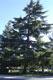 The cedar tree in Piazza dei Vespri